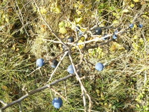 Sloes – but am I too fast?
